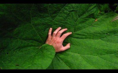 Paulownia el árbol que puede salvar al mundo